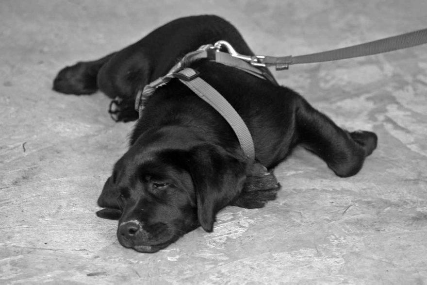 Perché il cane adulto non vuole camminare (foto Pixabay) allergia