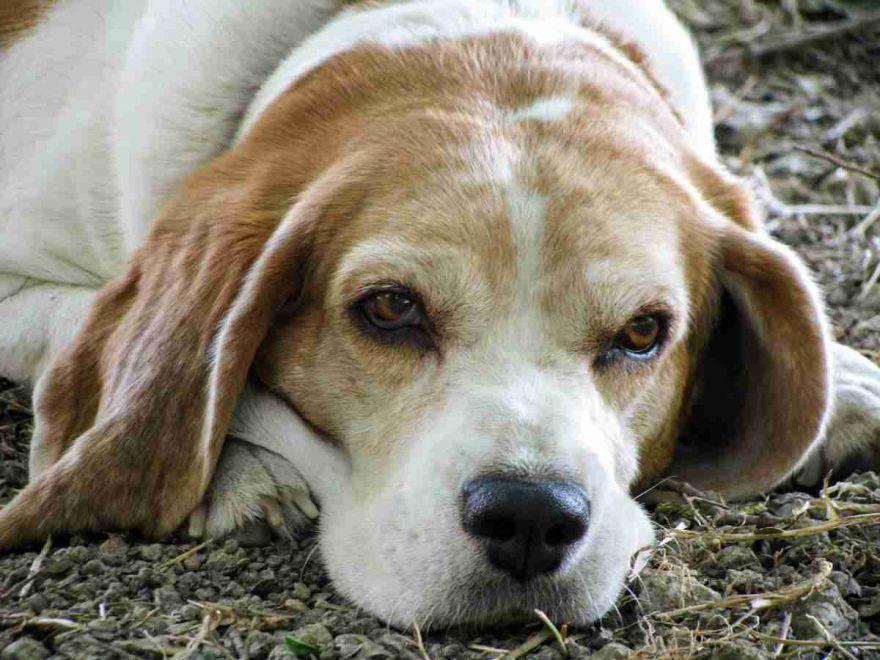 perché il cane anziano non vuole camminare? (foto Pixabay)