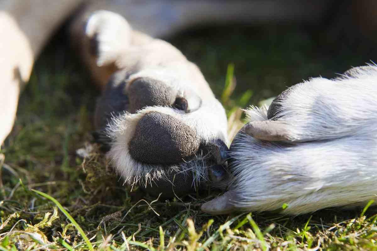 cane con zampa gonfia (foto Pixabay)