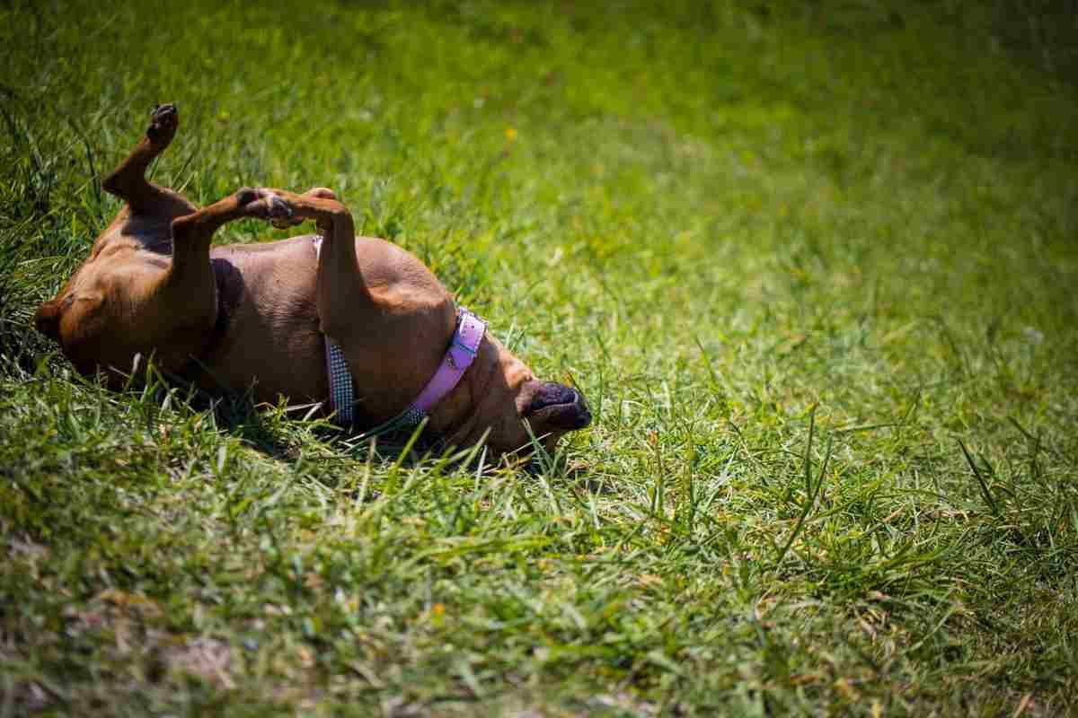 cane dorme a pancia all'aria (foto Pixabay)