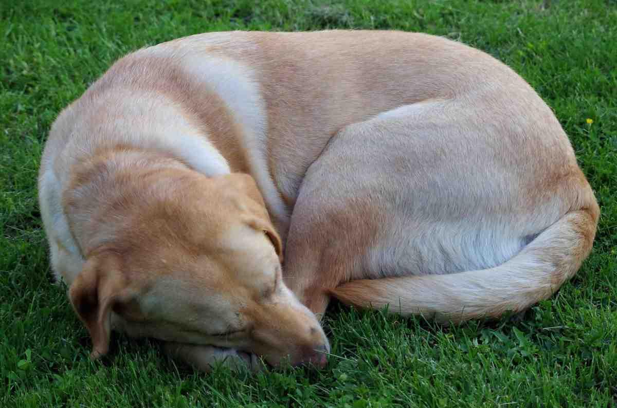 cane dorme arrotolato su se stesso (foto Pixabay)