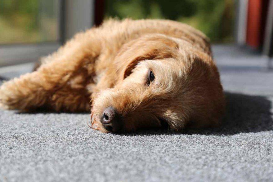 cane dorme sul fianco (foto Pixabay)