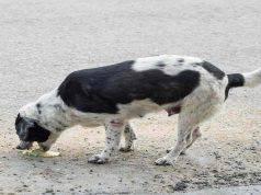 cane vomito