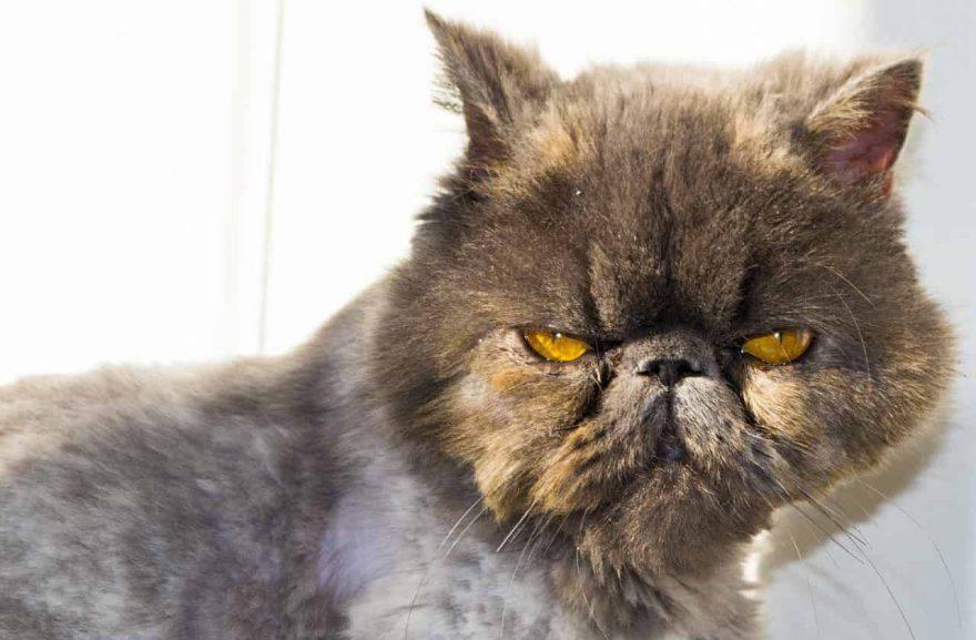 gatto con muso schiacciato