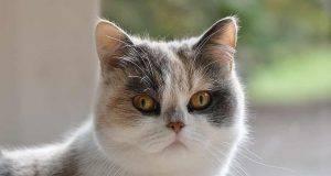 gatti con muso schiacciato