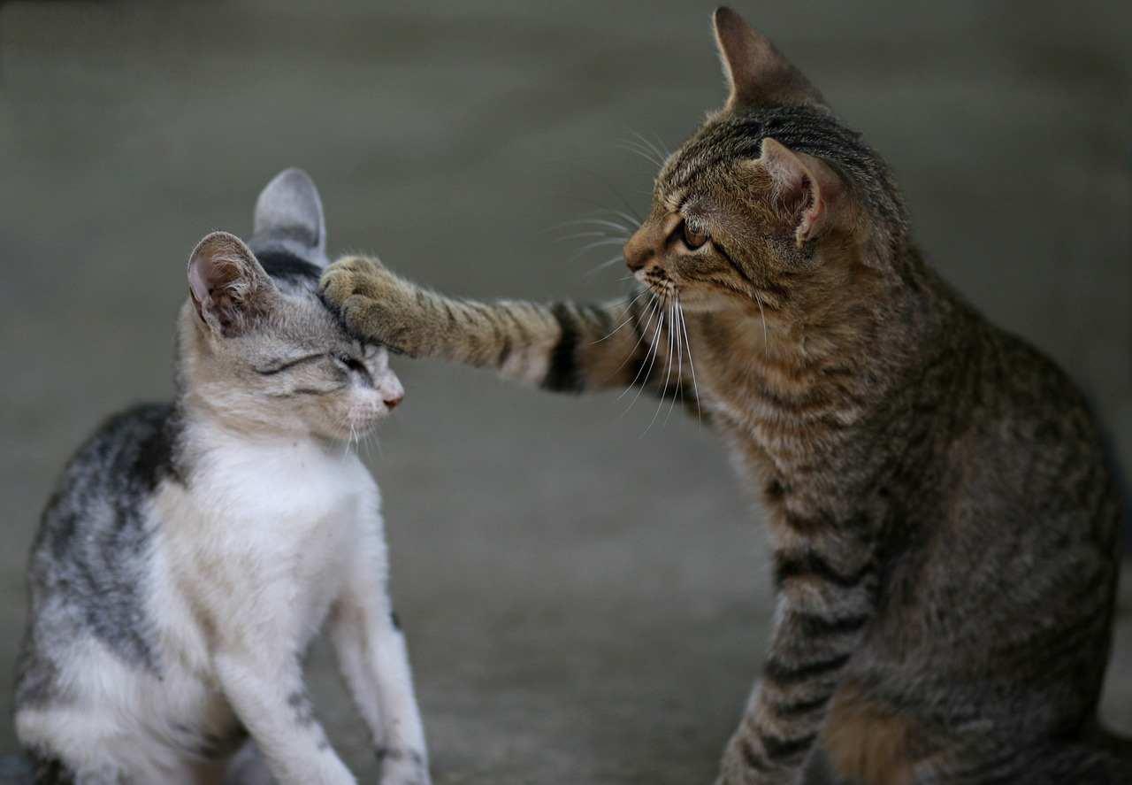 I gatti litigano
