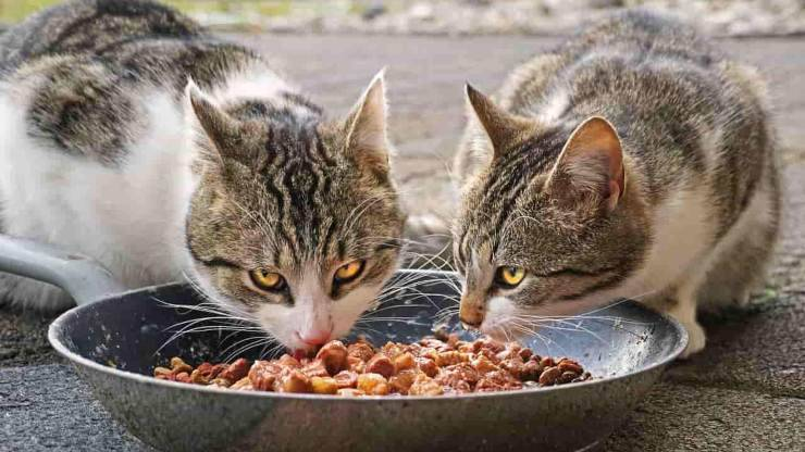 gatto dieta barf alimentazione micio