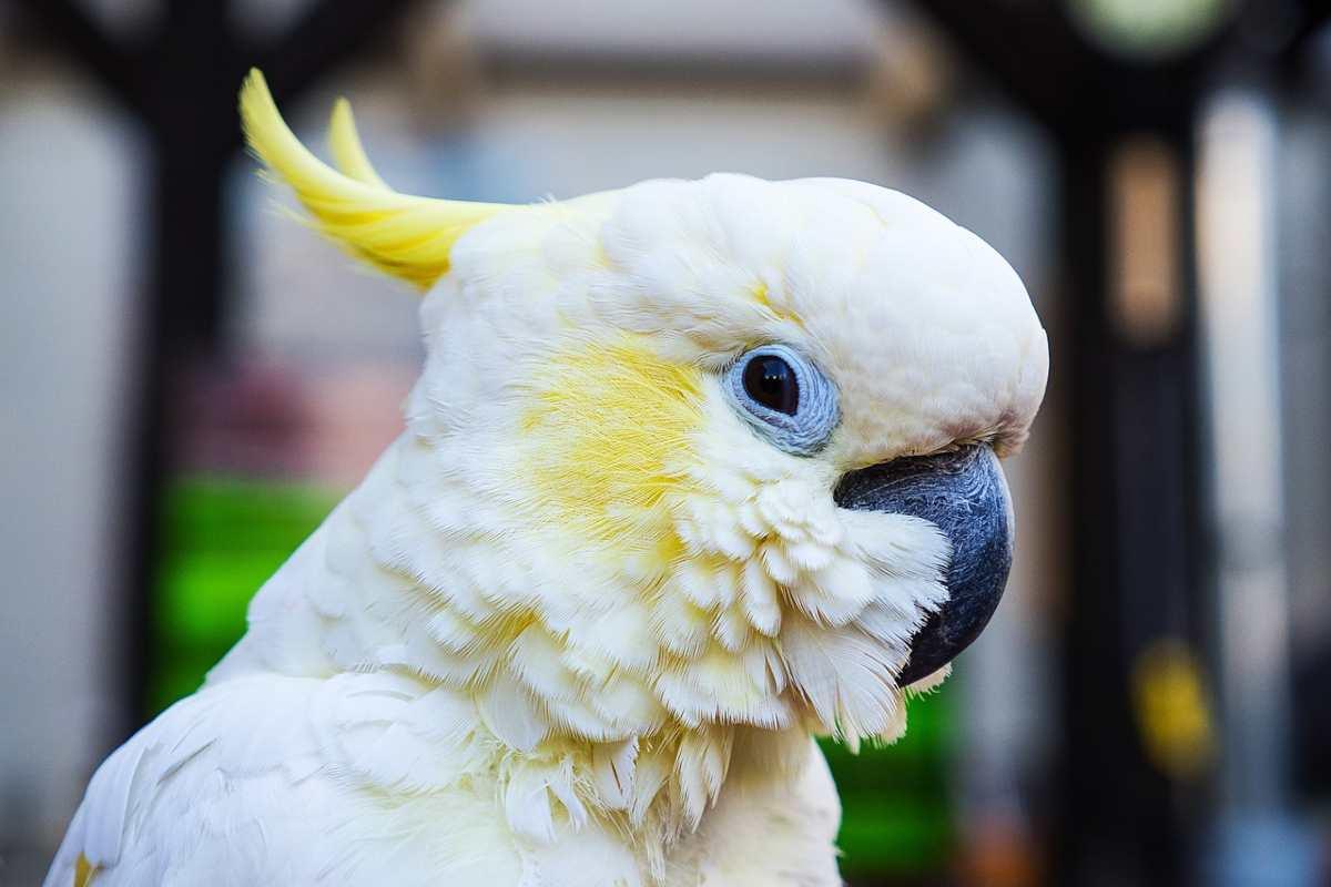 come allevare un pappagallo Cacatua (foto Pixabay)
