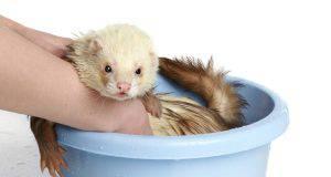 come fare il bagno al furetto (foto iStock)