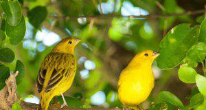 riconoscere sesso canarino