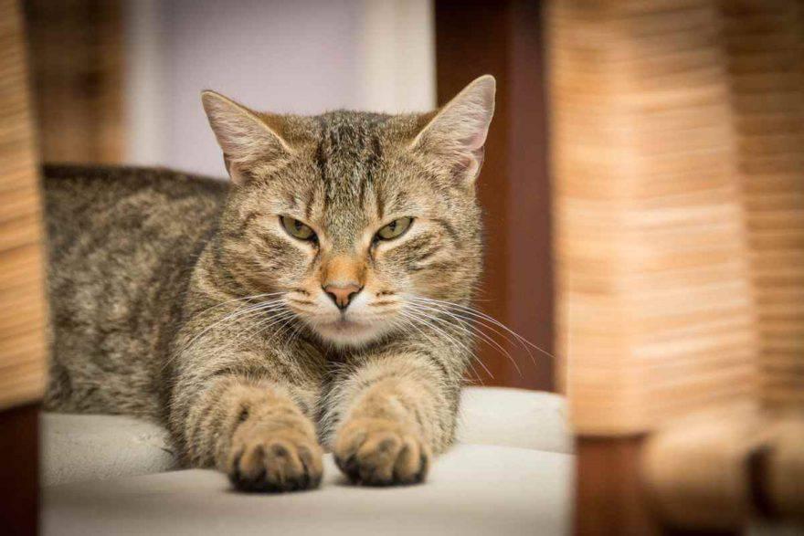 corpo estraneo ingerito dal gatto (foto Pixabay)