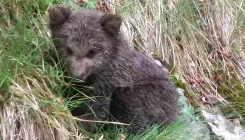 cucciolo orso mamma