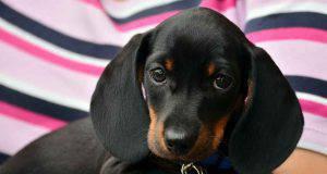 malattie cani piccola taglia