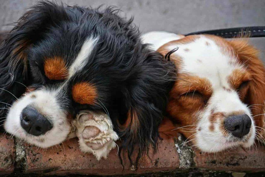 cuccioli cane di razza