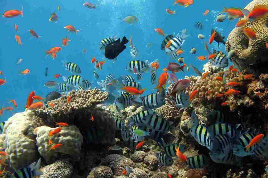 pesce zebra