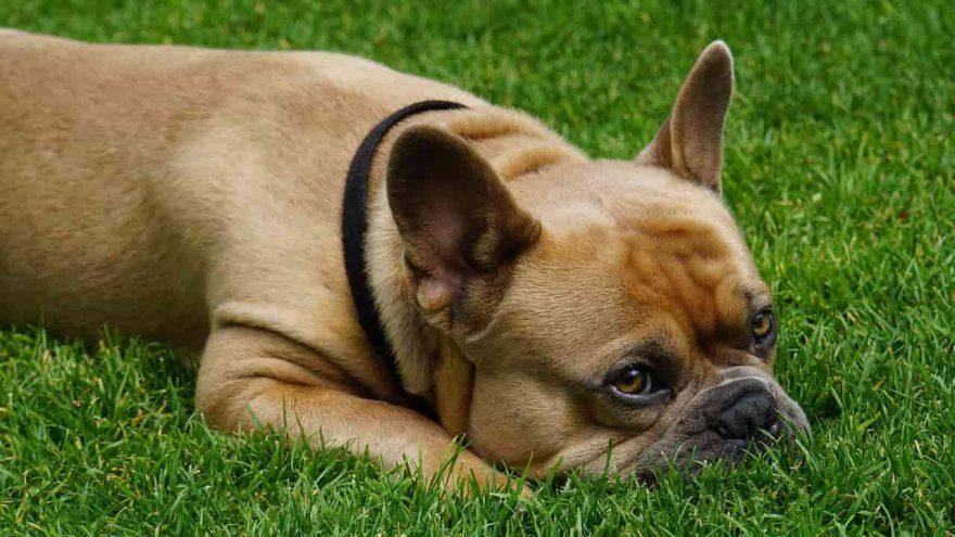 cane muso a terra