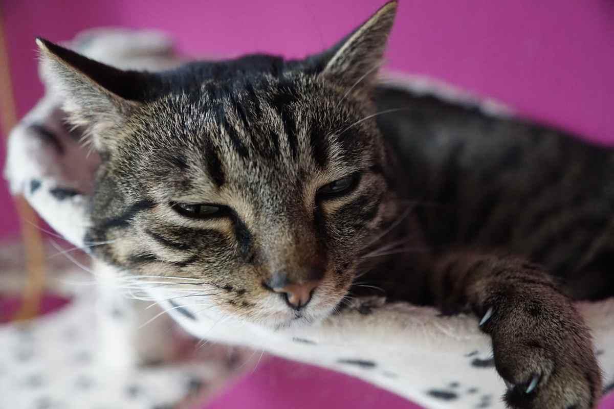 segni di infezione del tratto urinario nei gatti