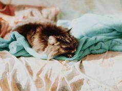 gatto succhia lana