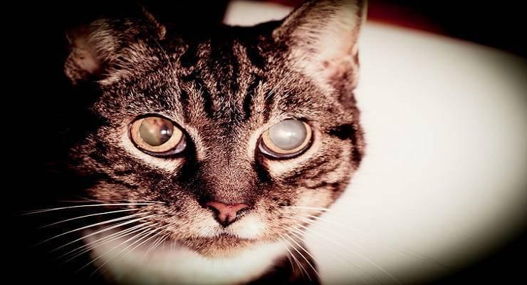 gatto glaucoma