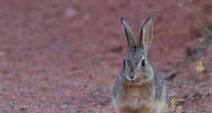 gravidanza immaginaria nel coniglio (foto Pixabay)