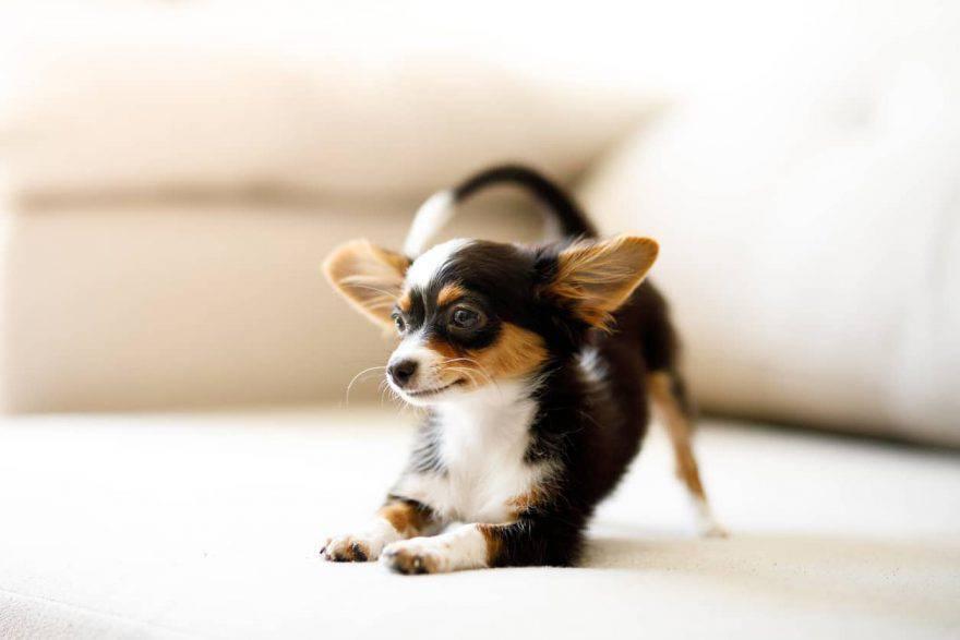 cane accovacciato