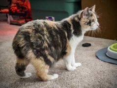 gatti senza coda