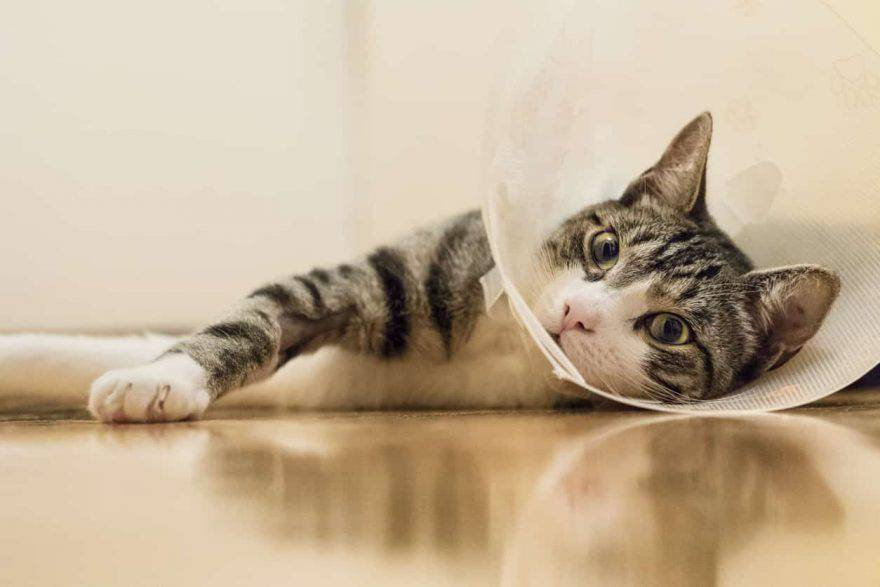 punti di sutura gatto