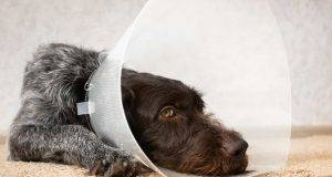 punti di sutura cane