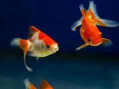 pesce rosso maschio o femmina