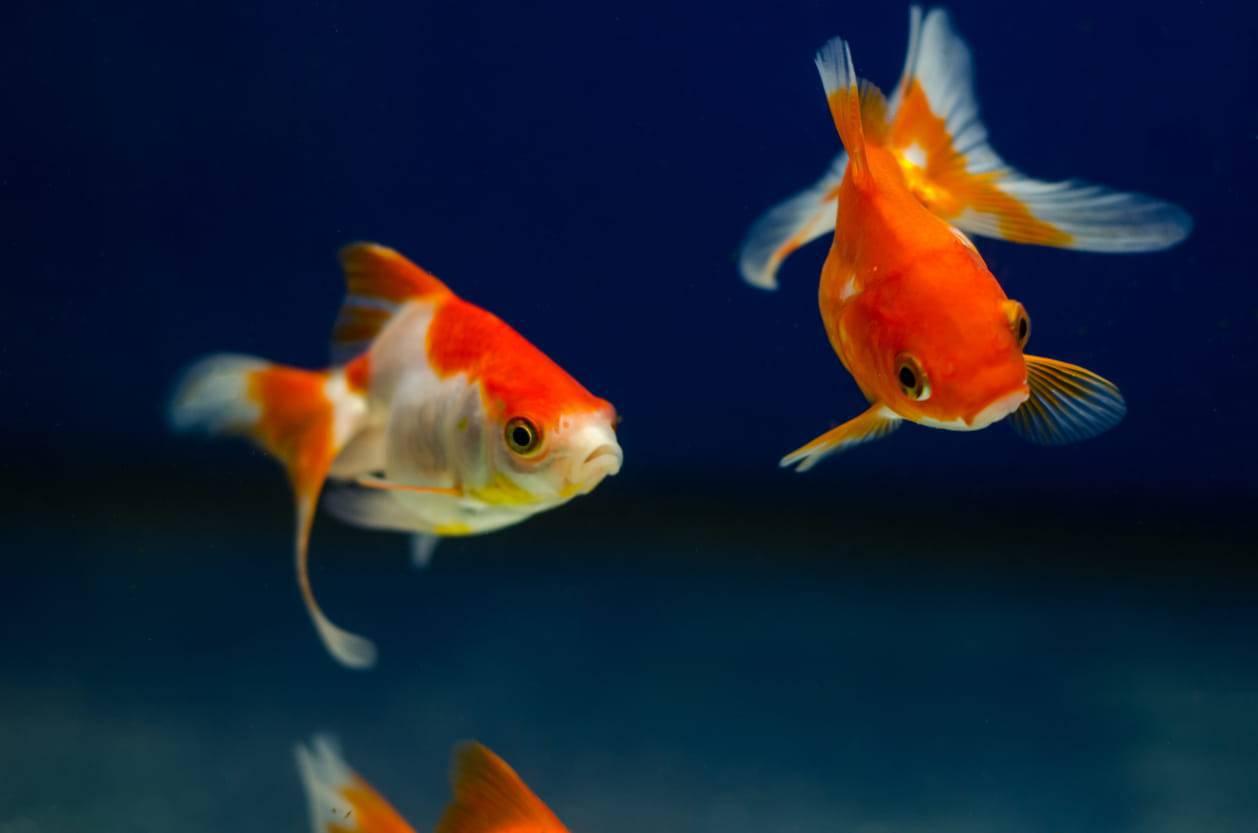 aspettative vita pesce acquario