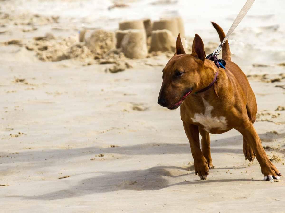 il cane tira al guinzaglio (foto Pixabay)