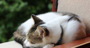 il gatto raccoglie la coda davanti alle zampe (foto Pixabay)