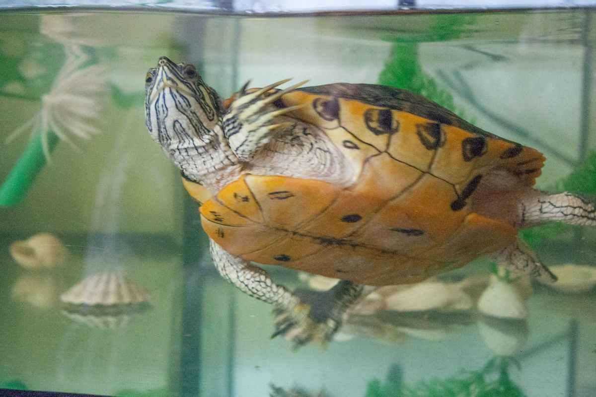 il letargo delle tartarughe d'acqua (foto Pixabay)