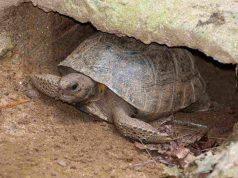 il letargo delle tartarughe di terra (foto Pixabay)