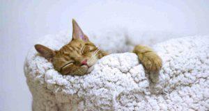 influenza gatto