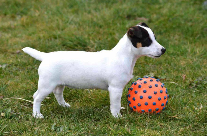 Cani condrodistrofici Jack Russel