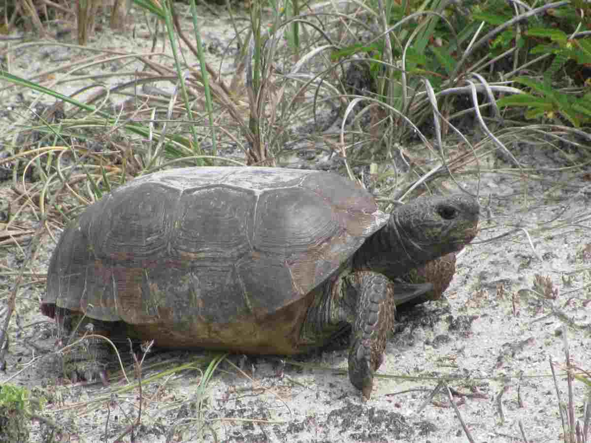 letargo tartarughe di terra (foto Pixabay)