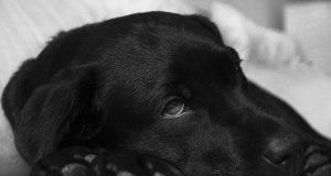 Meningite nel cane: sintomi e pericolosità per l'uomo (foto Pixabay)