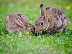 parassiti esterni nel coniglio (foto Pixabay)