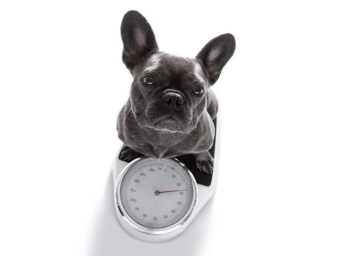 perdita di peso nel cane (foto iStock)