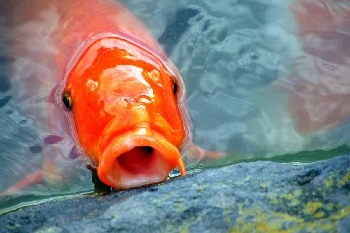 Come capire se il pesce rosso sta male: i comportamenti da non sottovalutare (foto Pixabay)
