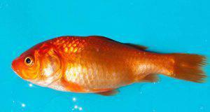 Il pesce rosso sta male: sintomi fisici per ogni parte del corpo (foto Pixabay)