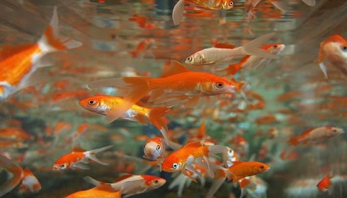 territorialità pesci