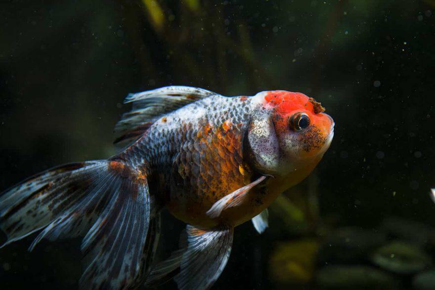 pesce rosso diventa nero