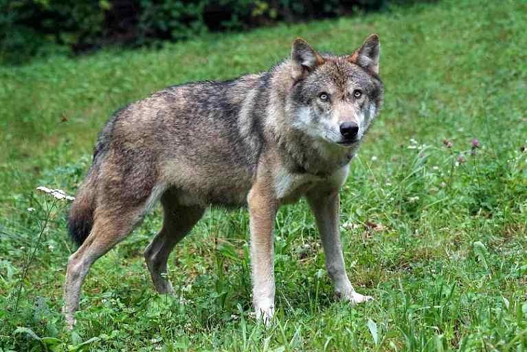 razze cani lupo