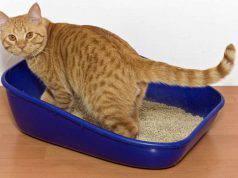 sangue nelle urine del gatto_ cause, sintomi e precauzioni (foto iStock)