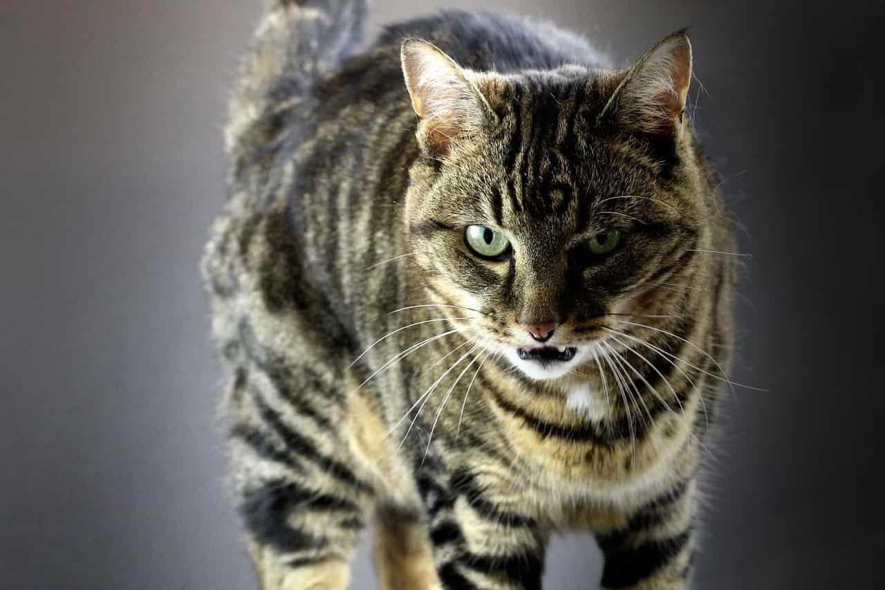 gatto ansima