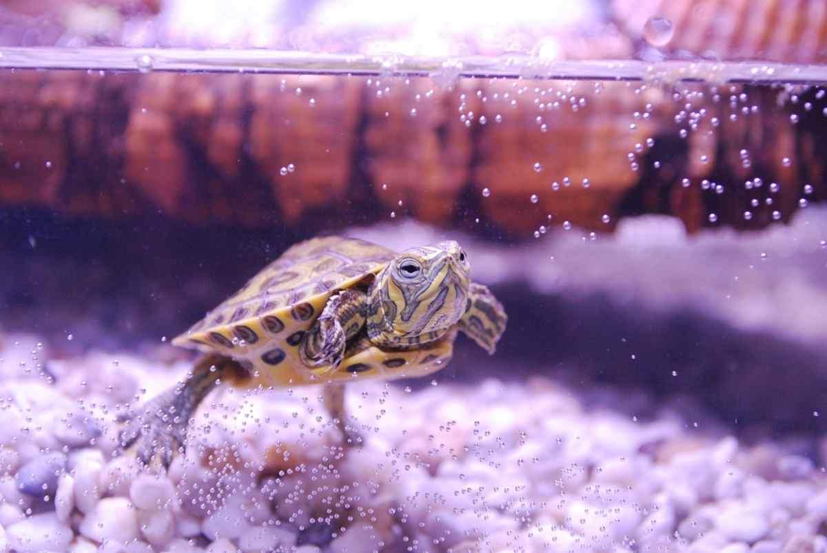 Come portare dal veterinario la tartaruga d'acqua (Pixabay)