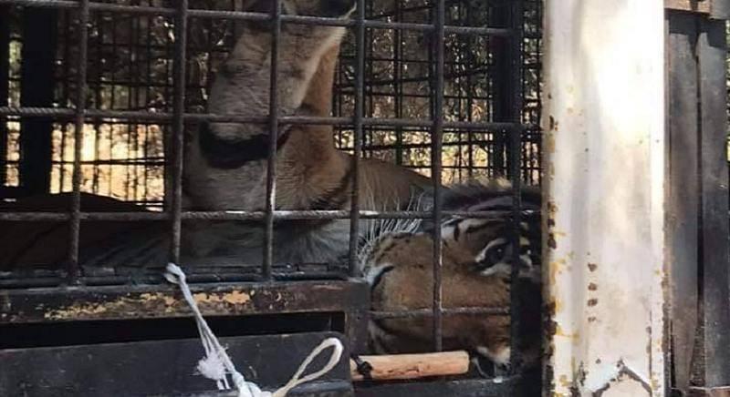 tigri weber circo