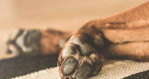 zampa gonfia del cane (foto Pixabay)